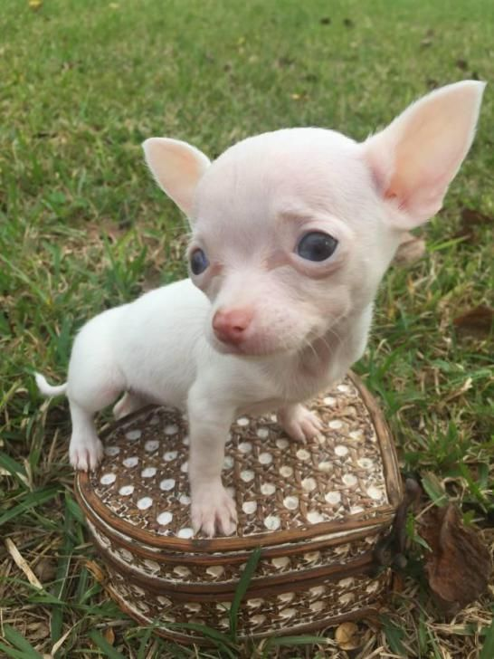 teacup applehead chihuahua puppies for sale Houston - Puppies for Sale