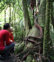 Mangakara nature walk, Pirongia.  Easiest track 1 hour