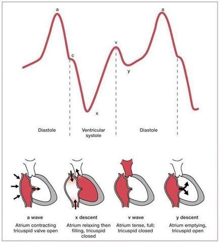 Curvas presión venosa