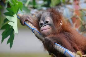 Cucciolo di orango...