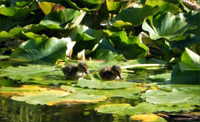 Zwei Entenküken - Jahreszeiten - Galerie - Community