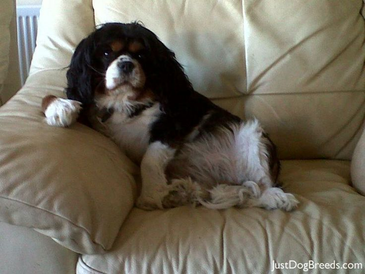 Named for King Charles II, the Cavalier King Charles Spaniel is descended from the King Charles Spaniel.