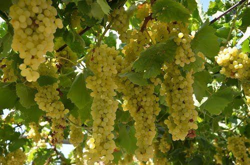 Sarı üzümler ayrı kazana alınır