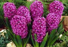 Hyacinth Flower Bulbs For Sale | Buy Hyacinth Bulbs in Bulk