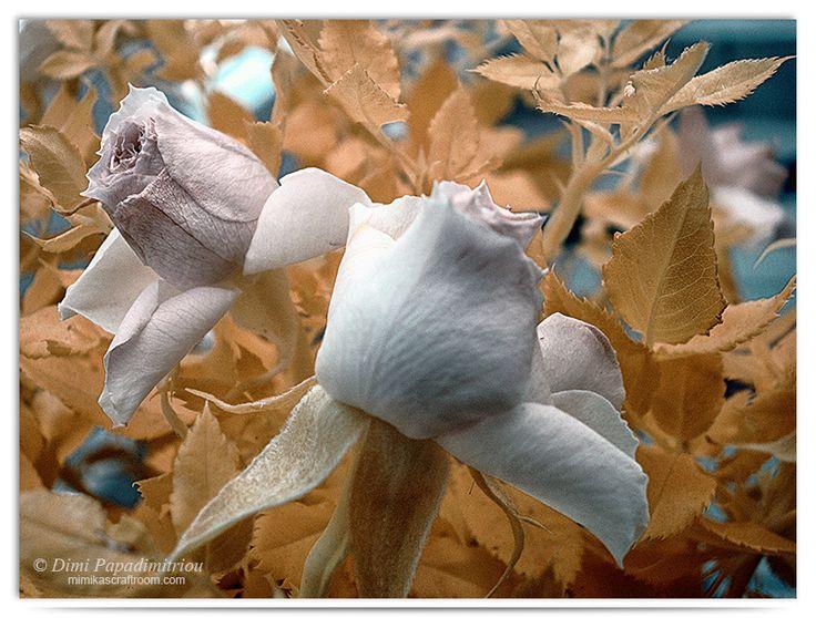 Rose Leaves - Infrared by LightSculpting.deviantart.com on @DeviantArt