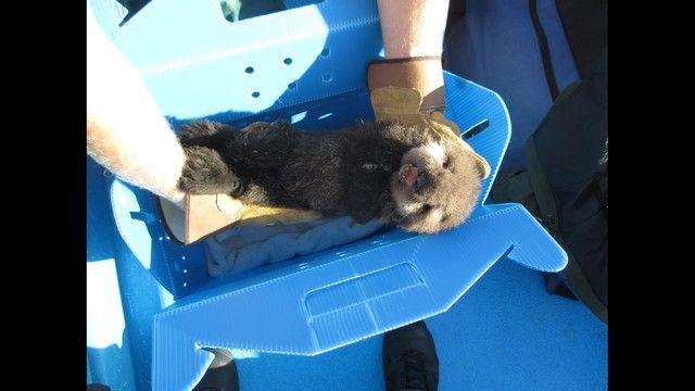 Baby sea otter rescued in Morro Bay - Story | KTVU