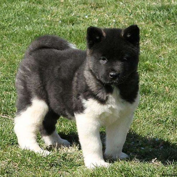 Miniature Akita Puppies For