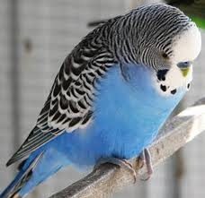 Budgie. I had two as a child and LOVED them!