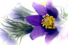 The pasque-flower.