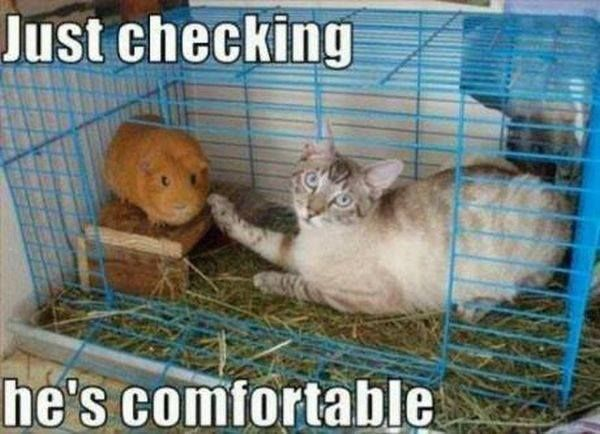 Guinea Pig is comfortable- kitty checked.