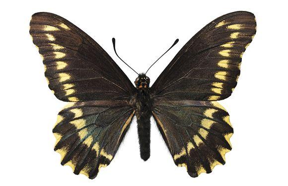 Las sorprendentes Mariposas chilenas