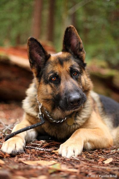 German Shepherd pastor aleman