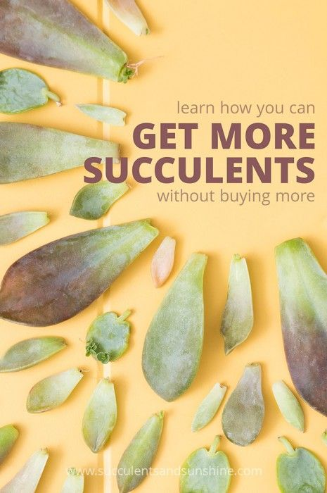 Find out how propagating succulents can multiply your succulent collection without buying more plants