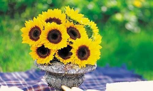I girasoli sono uno dei più allegri simboli dell'estate. Se li amate, potreste provare a coltivarli in vaso a partire dai semi. I semi di girasole sono facilmente reperibili sia nei negozi di prodotti biologici che nei punti vendita per il giardinaggio. Le varietà di girasoli più adatte ad essere coltivate in vaso sono quelle ornamentali.http://www.greenme.it/spazi-verdi/radici/988-come-coltivare-i-girasoli-in-vaso