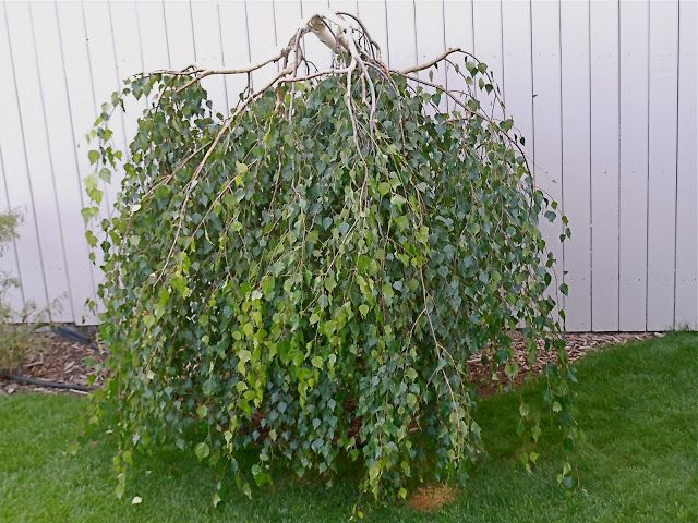 17 best images about weeping specimen trees on pinterest for Small specimen trees