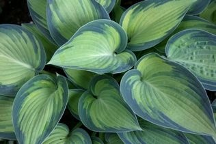 Need something showy? June hosta is compact and has eye-catching leaves. In summer, it produces lavender blooms. #gardening: Gardens Ideas, Heavens Hosta, Head Cabbages, Flower Gardens, Hosta June, Varieg Hosta, Precious Gardens, June Hosta, Plants Gardens