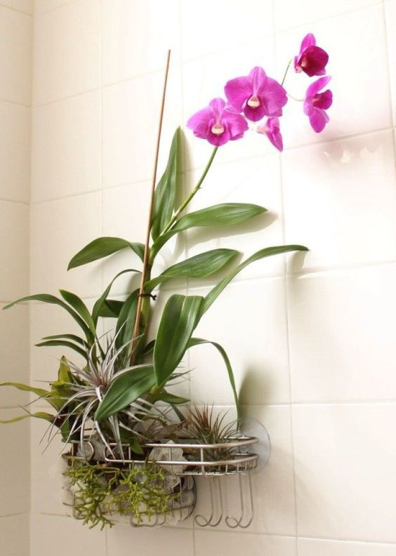 Orchids love the moist, humid bathroom environment. Coincidentally mold also loves the same conditions, but orchids are a much prettier form of plant-life. Orchids are also essentially air plants, and that's why this suction-capped shower caddy arrangement works so well. Now there's a simple DIY project to brighten up the bathroom, if I've ever seen one.