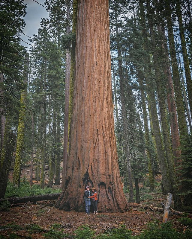 CALAVERAS COUNTY CALIFORNIA GIANT SEQUOIA TREE MOTHER OF THE FOREST CONIFER