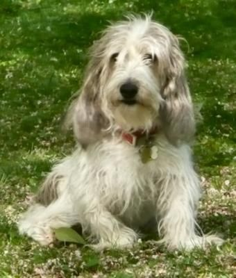 Petit Basset Griffon Vendeens... cute, cuddly but not a fluffy purse dog.
