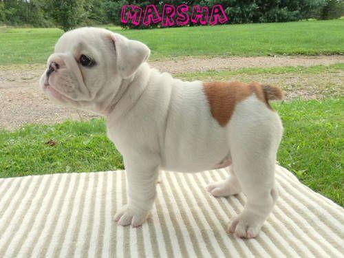 AKC English Bulldog Pups Champion Bloodline