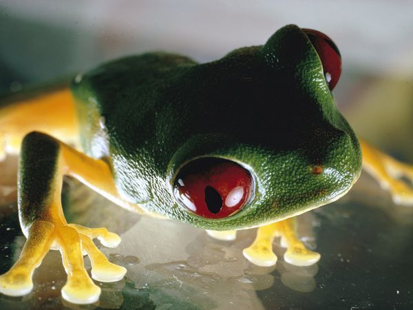 Red-Eyed Tree Frog.  The red-eyed tree frog flashes its brightly colored body parts when startled. It sleeps by day with its eyes closed and body markings covered, stuck to leaf-bottoms.