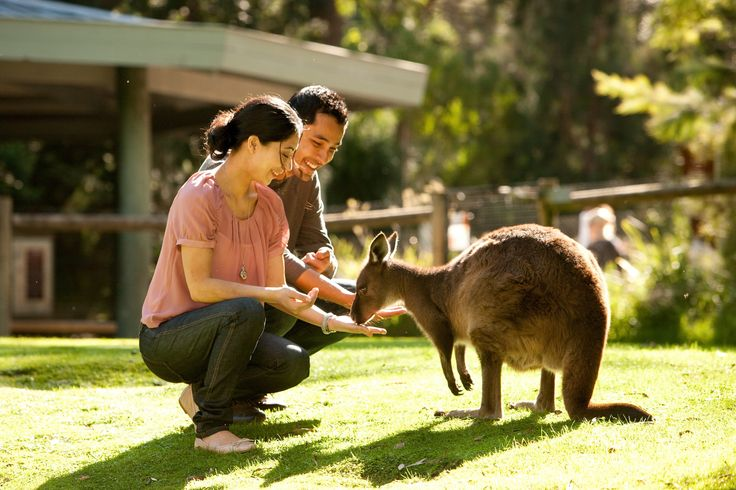 Want a magical, memorable wildlife experience to treasure forever?  Buy a Magic Moment with your entry ticket and enjoy a special 10 minute close encounter with your favorite Australian animal.  Accompanied by one of our wonderful staff, you can get up close to our Kangaroos, Pythons, Koalas, Dingoes and Echidnas.  $12 per person per Magic Moment, an experience not to be missed! #australian #animals #kangaroo