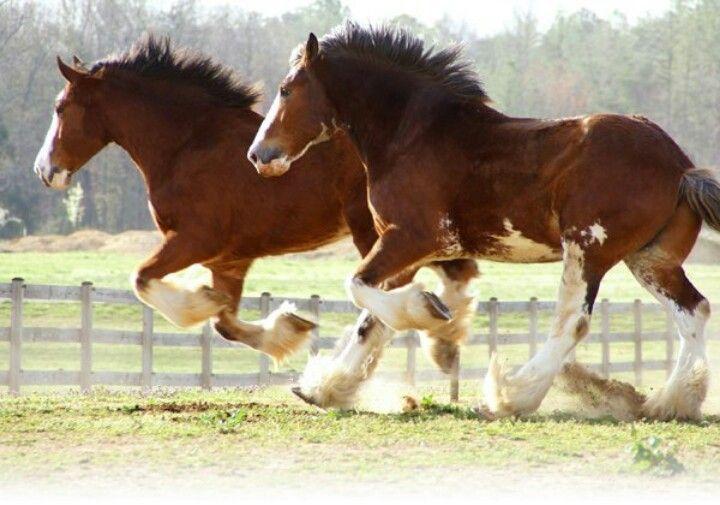 Love Clydesdale horses                                                                                                                                                                                 Más