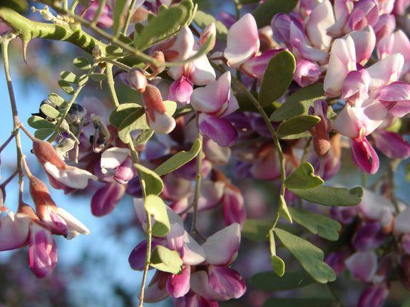 Flowering Beauty: Photos of Desert Ironwood Trees