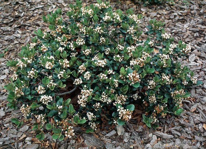 58 best frank and blanca images on pinterest landscaping for Low growing flowering shrubs