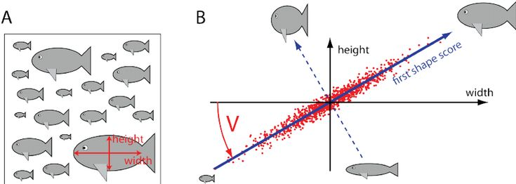 Figure 1: Illustration of principal component analysis. A. As a minimal example, we consider a hypothetical data set of width and height measurements for a collection of n individuals, i.e. there are just m = 2 geometric features measured here. B. In this example, width and height are assumed to be strongly correlated, thus mimicking the partial redundancy of geometrical features commonly observed in real data. Principal component analysis now defines a change of coordinate system from the…