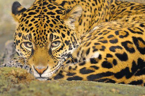 Felidae -  Pantherinae - Panthera - Panthera onca (Jaguar) : Como muitos felinos, a onça pintada é solitária, exceto quando forma pequenos grupos de mãe e filhotes. Adultos encontram-se somente no período de corte e acasalamento e mantém grandes territórios para si.   Os territórios das fêmeas têm entre 25 e 40 km² de área, podem se sobrepor, mas os animais geralmente se evitam nesses locais. Machos podem ter ...