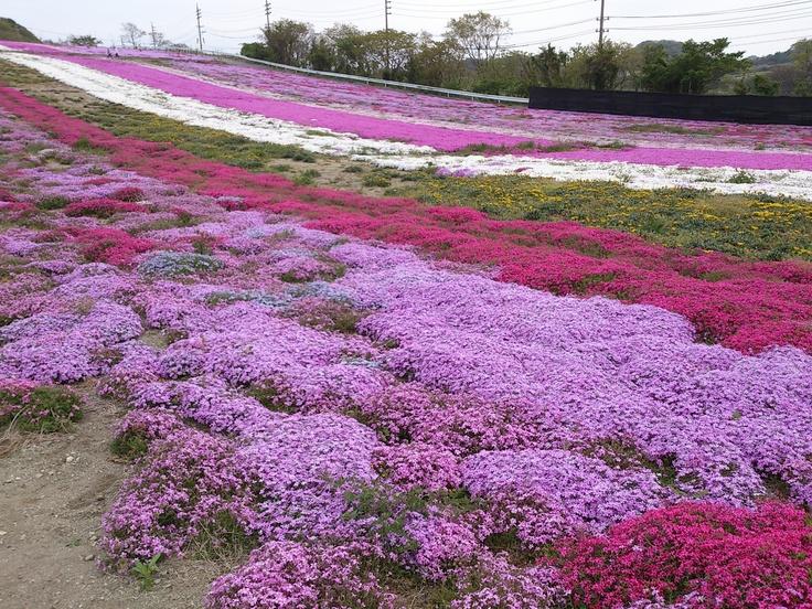 【Aichi】moss phlox in Hanahiroba,Minamichita