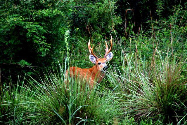 Day 118: Marsh deer, Esteros del Ibera (Argentina)