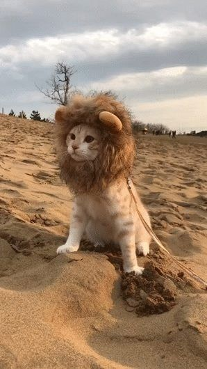 Lion in the wild