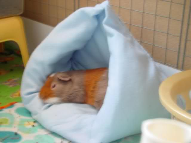 67 Best Guinea Pig Accessories Images On Pinterest