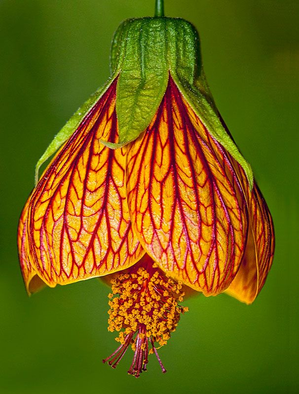 Chinese lantern flowers pinterest flowers beautiful for How to make a beautiful lantern