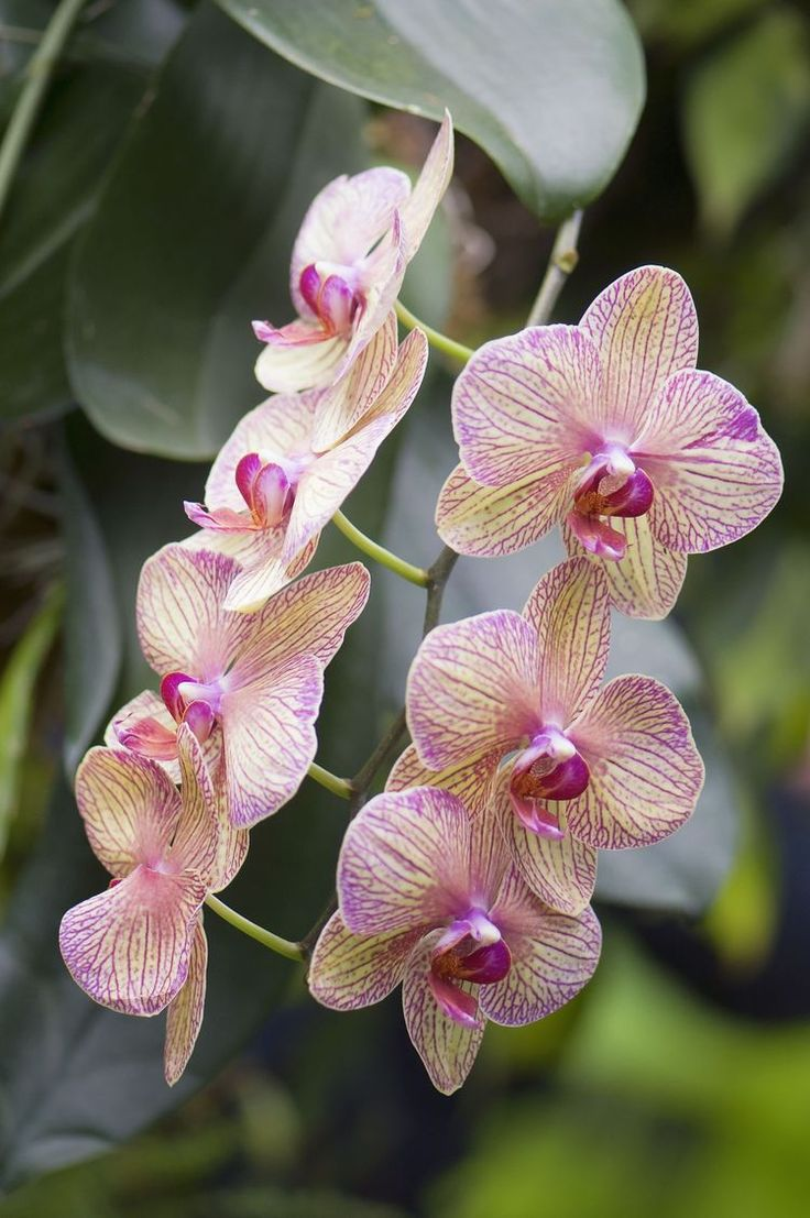 Get Up to Speed on Phalaenopsis Orchids