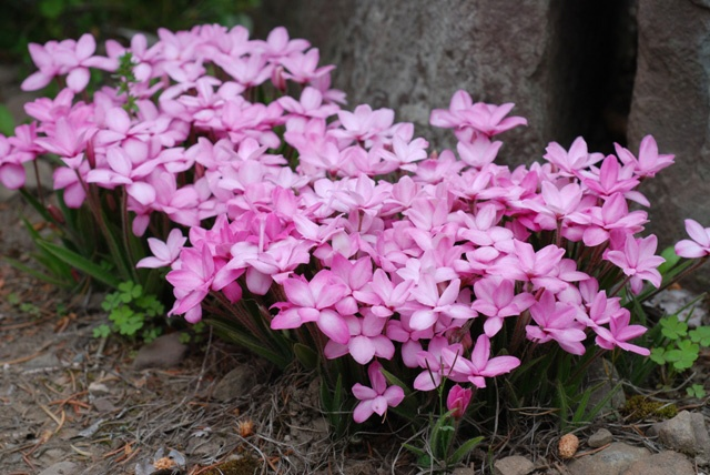 Rhodohypoxis Ruth