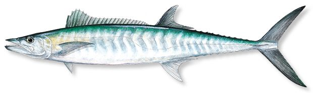 How-To Catch King Mackerel - Florida Sportsman