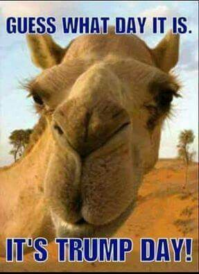 1ff59927d87986cbe60747e6cc6fc749 election camel 49 best mr donald trump mr president elect images on pinterest