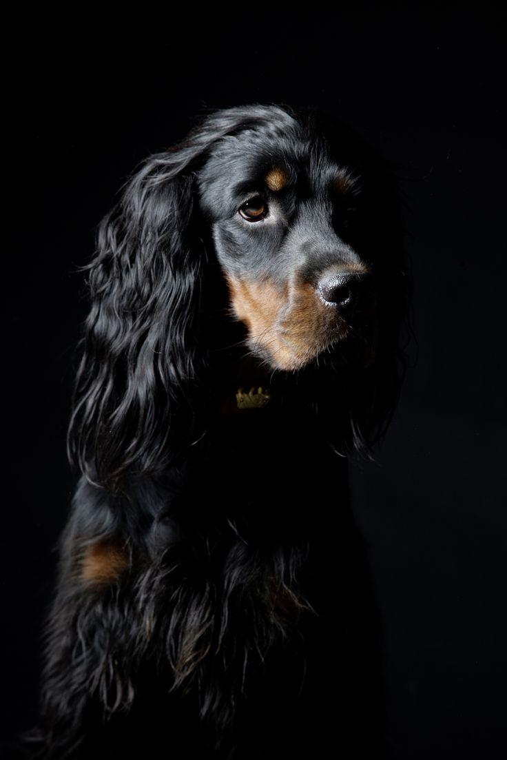 Gordon Setter Hundekunstporträts, Fotos, Informationen und einfach nur Spaß. Sehen Sie auch, wie der Künstler Kline seine 110 verschiedenen Hunderassen nur mit …