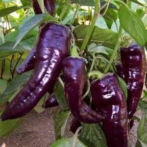 Capsicum 'Purple Marconi'. A prolific mild pepper, long purple fruit.