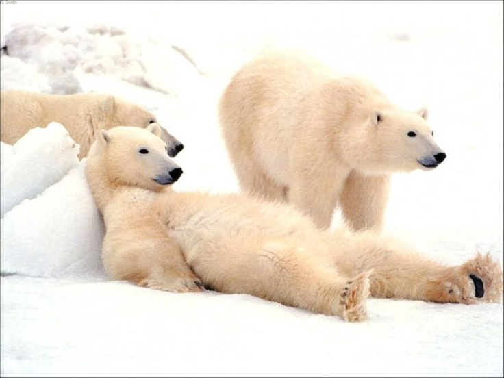 "Watchin' TV?  — ""Bad Boys of the Arctic"" — Thomas Mangelson"