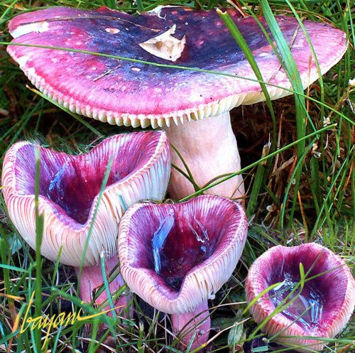 Mushrooms that surely must grow in Wonderland...