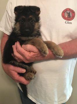 Litter of 5 German Shepherd Dog puppies for sale in DULUTH, GA. ADN-30156 on PuppyFinder.com Gender: Male. Age: 8 Weeks Old