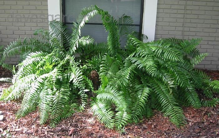76 best plants non toxic to dogs images on pinterest for Non toxic ferns