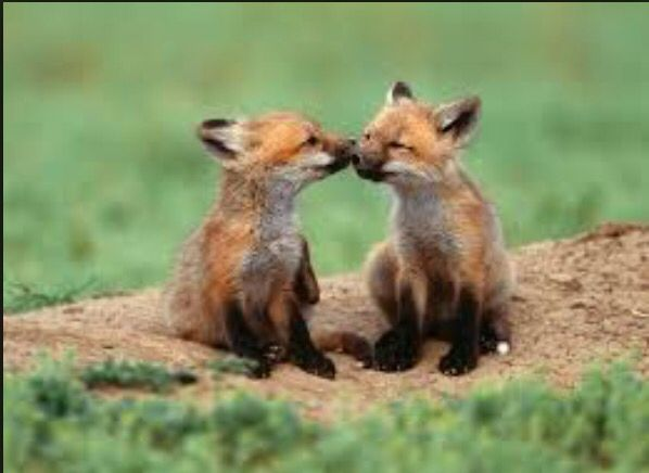 What cute little foxes.Young love