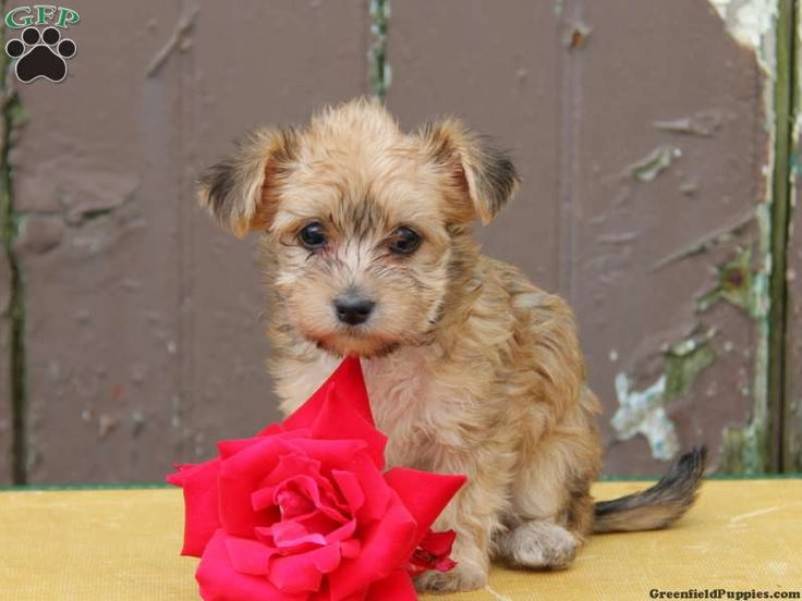 yorkie poo puppies for sale in pa 1000 images about yorkie mix puppies for sale on pinterest 1083