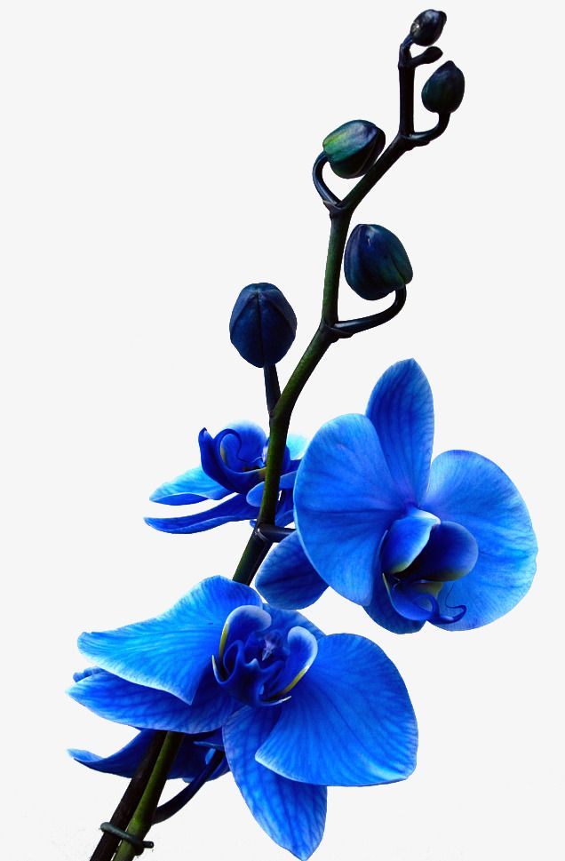 الزرقاء السحالب Blue Orchid Flower Blue Flower Wallpaper Orchid Flower