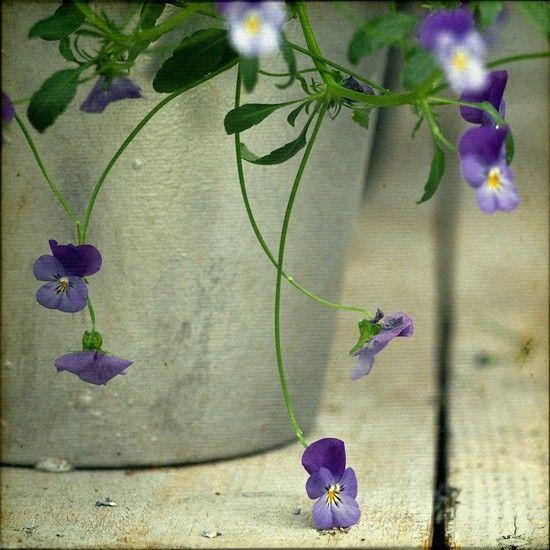Spring flowers. Purple pansy flowers.  Fine by BeatriceLechtanski, $35.00